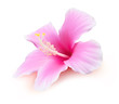 Hibiscus tropical flower vector illustration