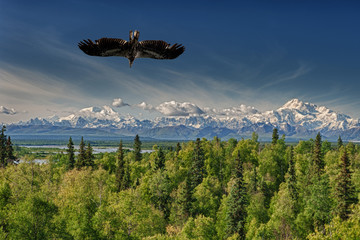 Isolated Eagle flying over blue sky in Alaska near McKinley