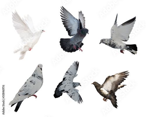 isolated on white six doves