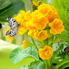 Schmetterling auf einer Primelblüte