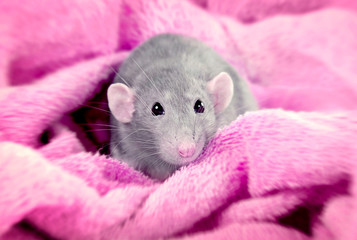 Funny rat on pink background