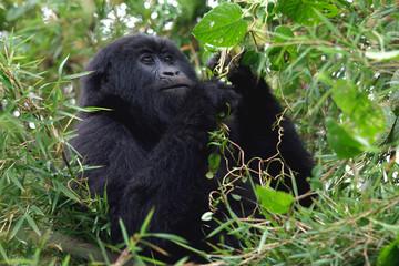 Berggorilla aus den Virunga Bergen, Ruanda