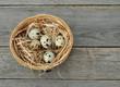 Nest mit Wachteleiern auf Holzuntergrund