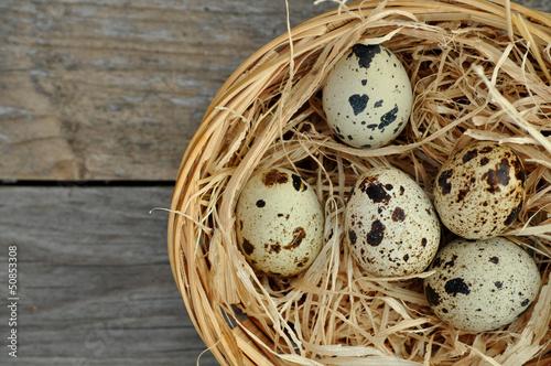 Wachteleier im Nest