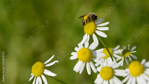 marguerite flowers in wind and bee