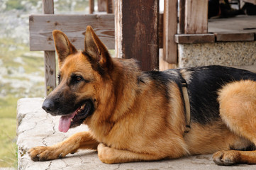 German sheperd dog