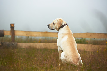 Yellow labrador retriever is waiting on field.