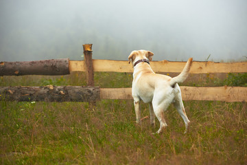 Yellow labrador retriever is waiting on field.