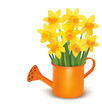 Yellow fresh spring flowers in green watering can.