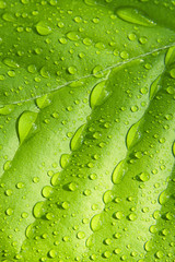 Beech leaf with raindrops