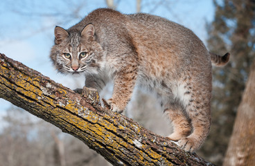 Bobcat (Lynx rufus) Stare at Viewer From Tree Branch