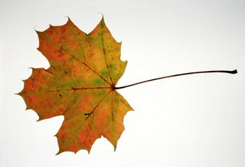 Herbstliches Ahornblatt.