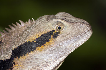 Water dragon close up