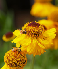 Yellow Cone Flowers with Bees