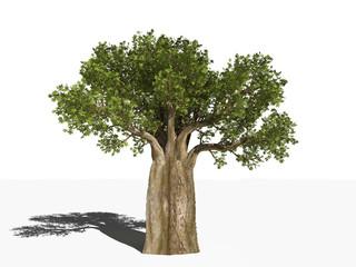 Баобаб - Адансония пальчатая - Adansonia digitata