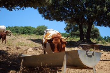 Cows at drinking trough, Spain © Arena Photo UK