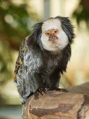Four Geoffroy's Tufted-eared Marmoset