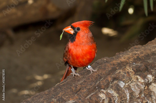 Northern Cardinal in captivity