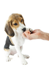 Obedient beaglepup
