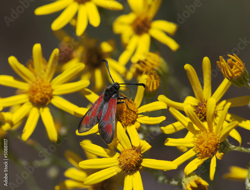 Red butterfly and yellow flowers