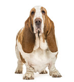 Basset Hound standing and looking at the camera