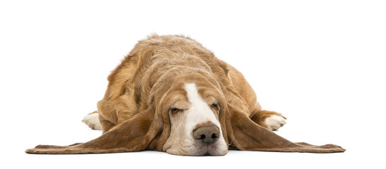 Basset Hound lying and sleeping, isolated on white