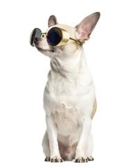 Chihuahua (2 years old) sitting, wearing sunglasses