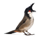 Red-whiskered Bulbul - Pycnonotus jocosus - isolated on white poster