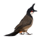 Rear view of a Red-whiskered Bulbul - Pycnonotus jocosus poster