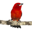 Brazilian Tanager perched on a branch - Ramphocelus bresilius