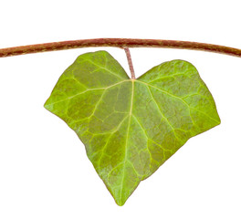 Ivy leaf