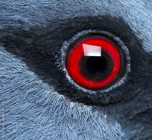 Close-up of Victoria Crowned Pigeon's eye - Goura victoria