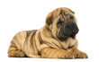 canvas print picture - Shar pei puppy lying down (11 weeks old) isolated on white