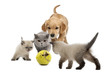 Golden retriever puppy a kittens walking towards tennis ball