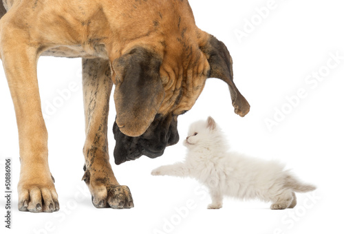 Great Dane looking at a kitten, isolated on white