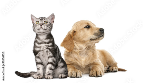 Golden retriever puppy lying next to British Shorthair kitten