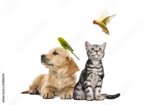 Golden retriever puppy lying with a Parakeet perched on its head