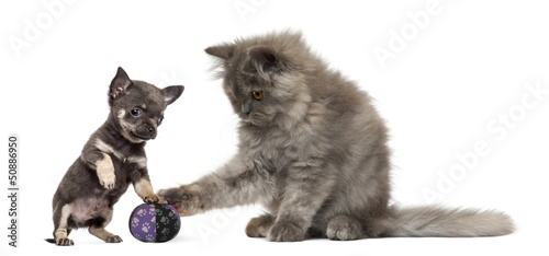 Persian kitten and Chihuahua puppy playing with a ball