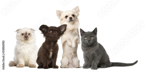 Chihuahua and kitten sitting - isolated on white