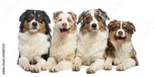 Group of Australian Shepherd lying and looking