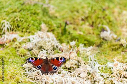 European peacock butterfly on moss