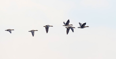 Flock of geese flying in winter