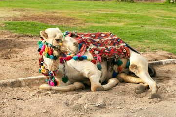 camel lying at the sand