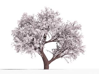 Яблоня обильноцветущая (Malus floribunda) на белом фоне