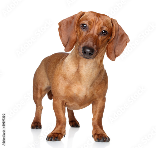 Brown dachshund