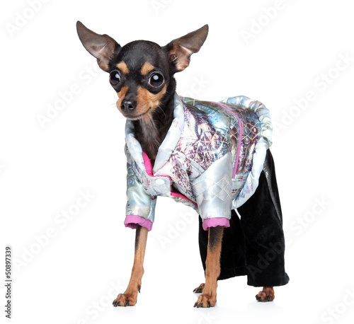 Russian toy terrier in fashionable overalls