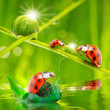 Funny ladybugs. Natural background from grassland.