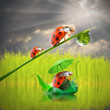 Funny ladybugs in the rain. Rainy season concept.