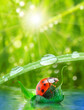 Little ladybug floating on the leaf. Rainy season concept.