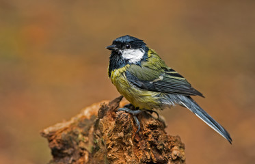 Complete wet great tit